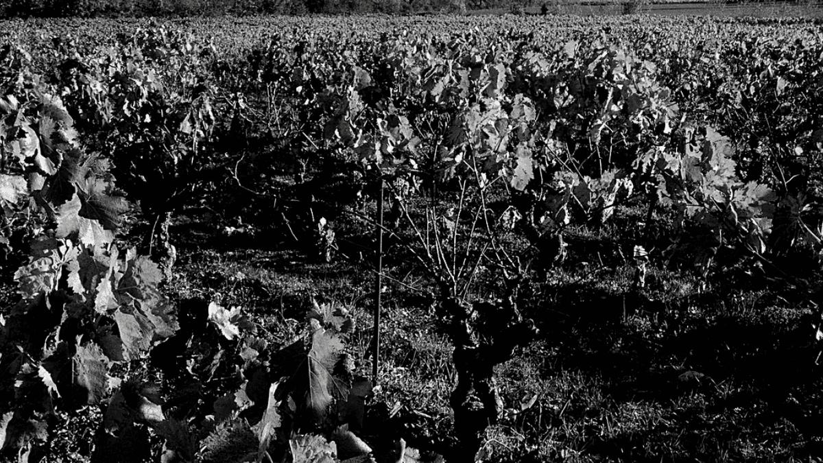 vigne nature bois