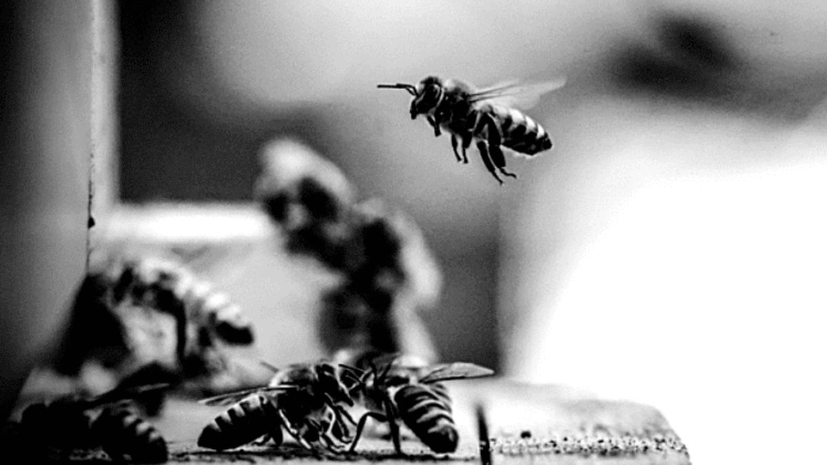 Abeilles butinant ruche