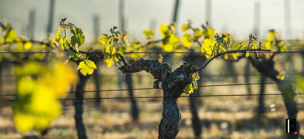 pieds de vigne Bordeaux Business