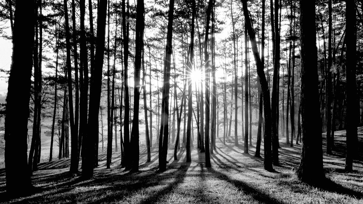 foret arbres pins