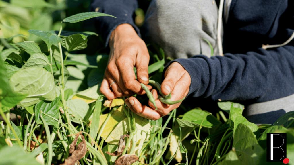 agriculture et récolte de légumes