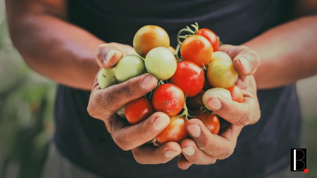 Tomates culture locale