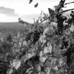 Vin au naturel vignoble culture