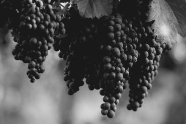 Château Montrose vin vignes raisin
