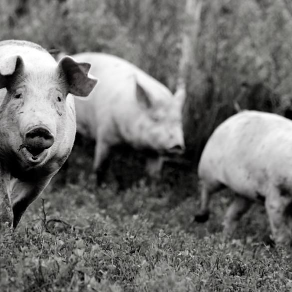 Bryan Cave Leighton Paisner acquisition banque Crédit Agricole Fipso secteur porcin